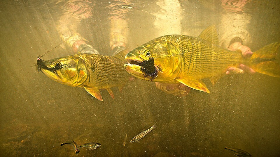 yellow dog fly fishing bolivia