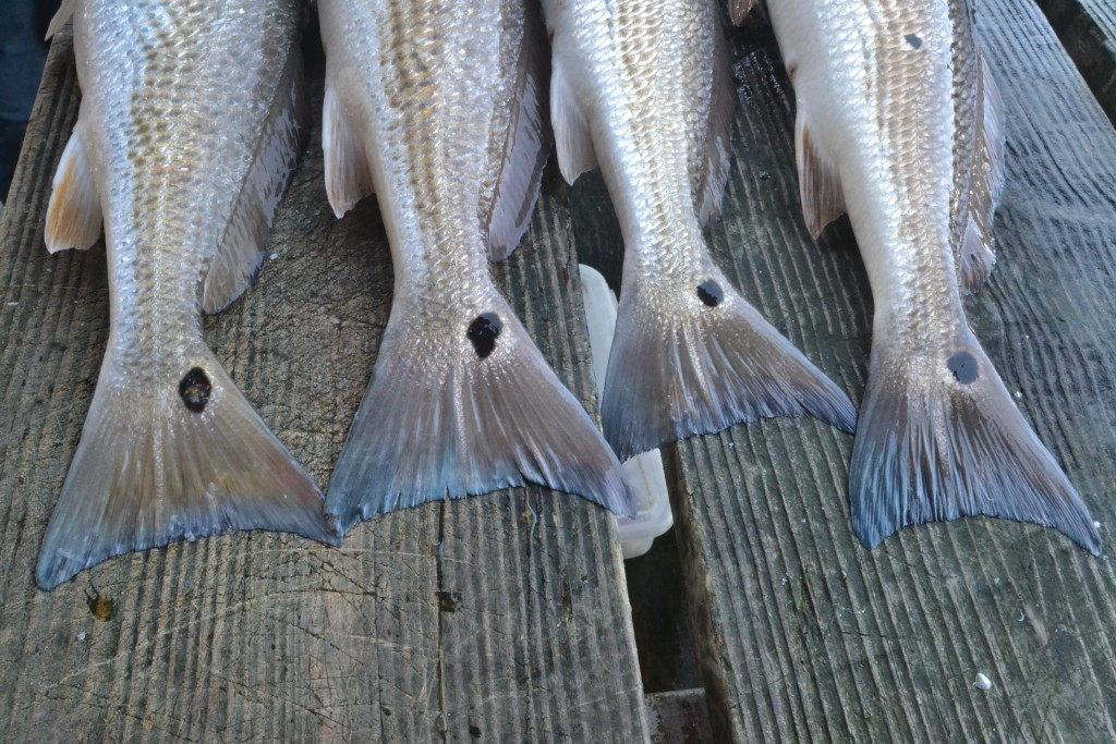 redfish tails