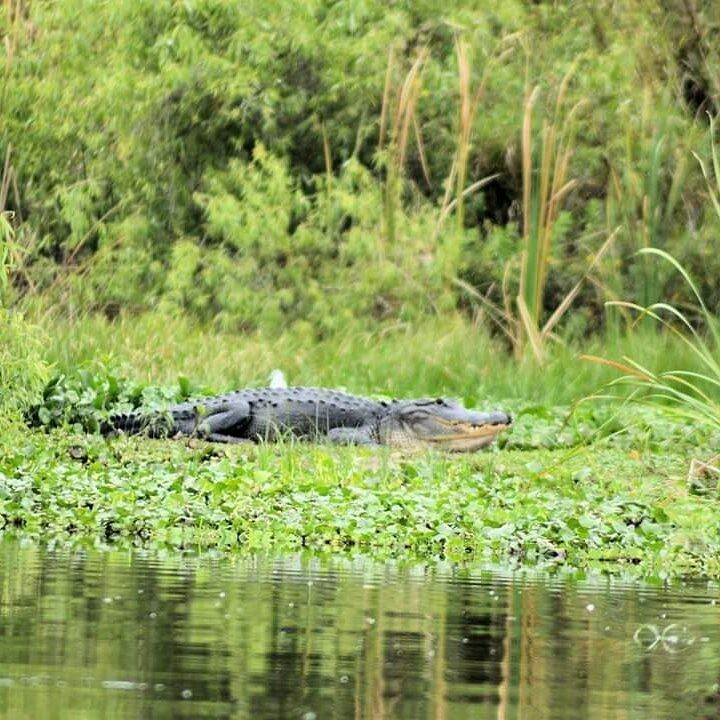 Alligator Eco Tour in the Everglades | Captain Experiences